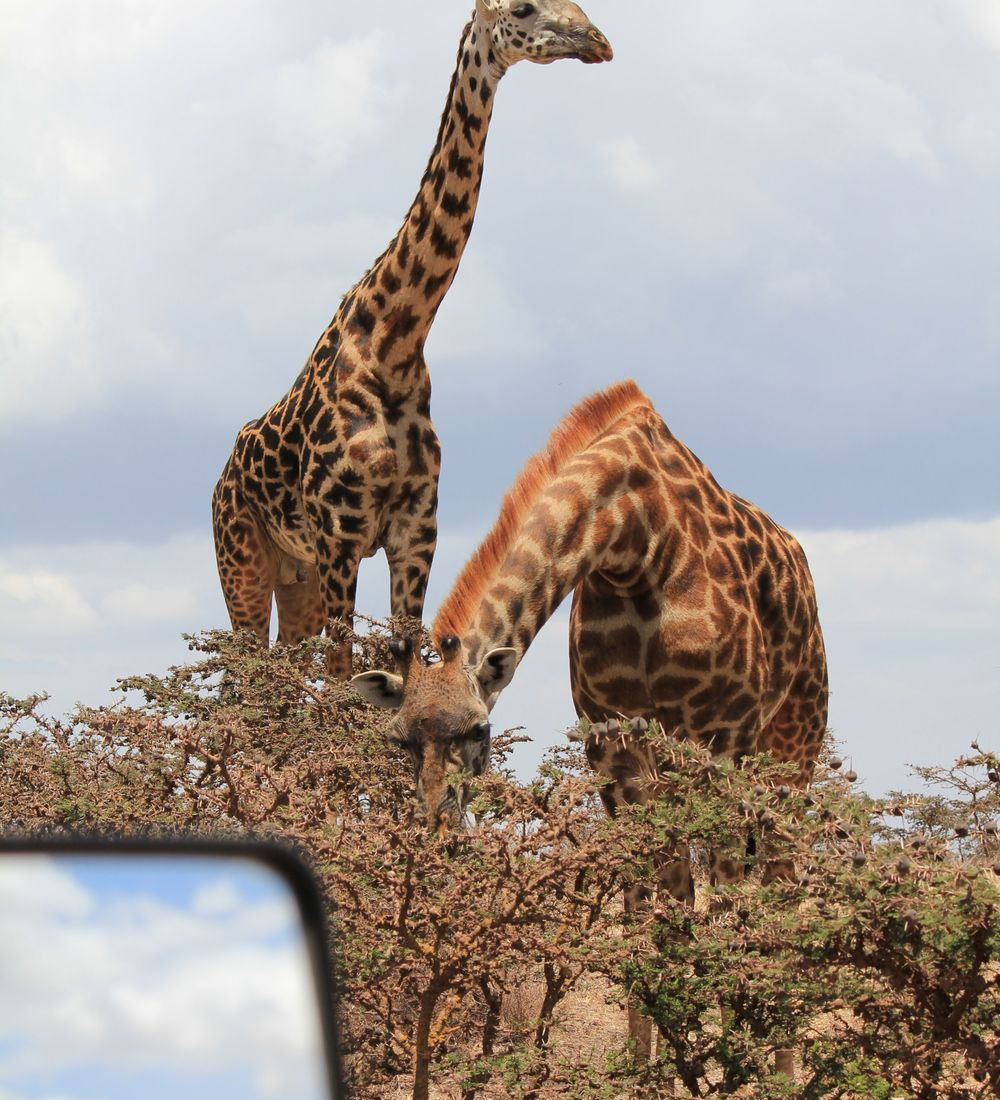 pair of giraffes grazing as seen from a game drive vehicle