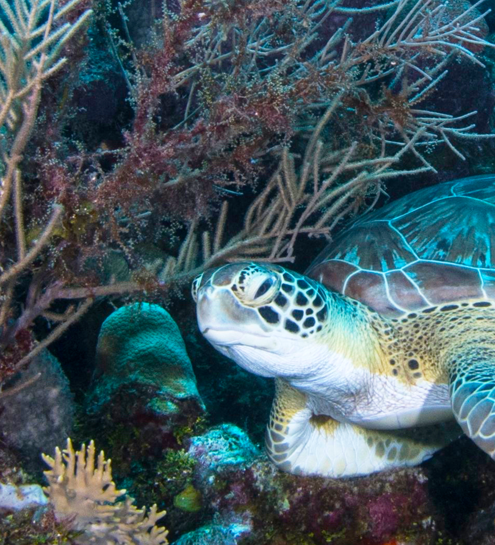 turtle swimming through coral reef in the galapagos islands