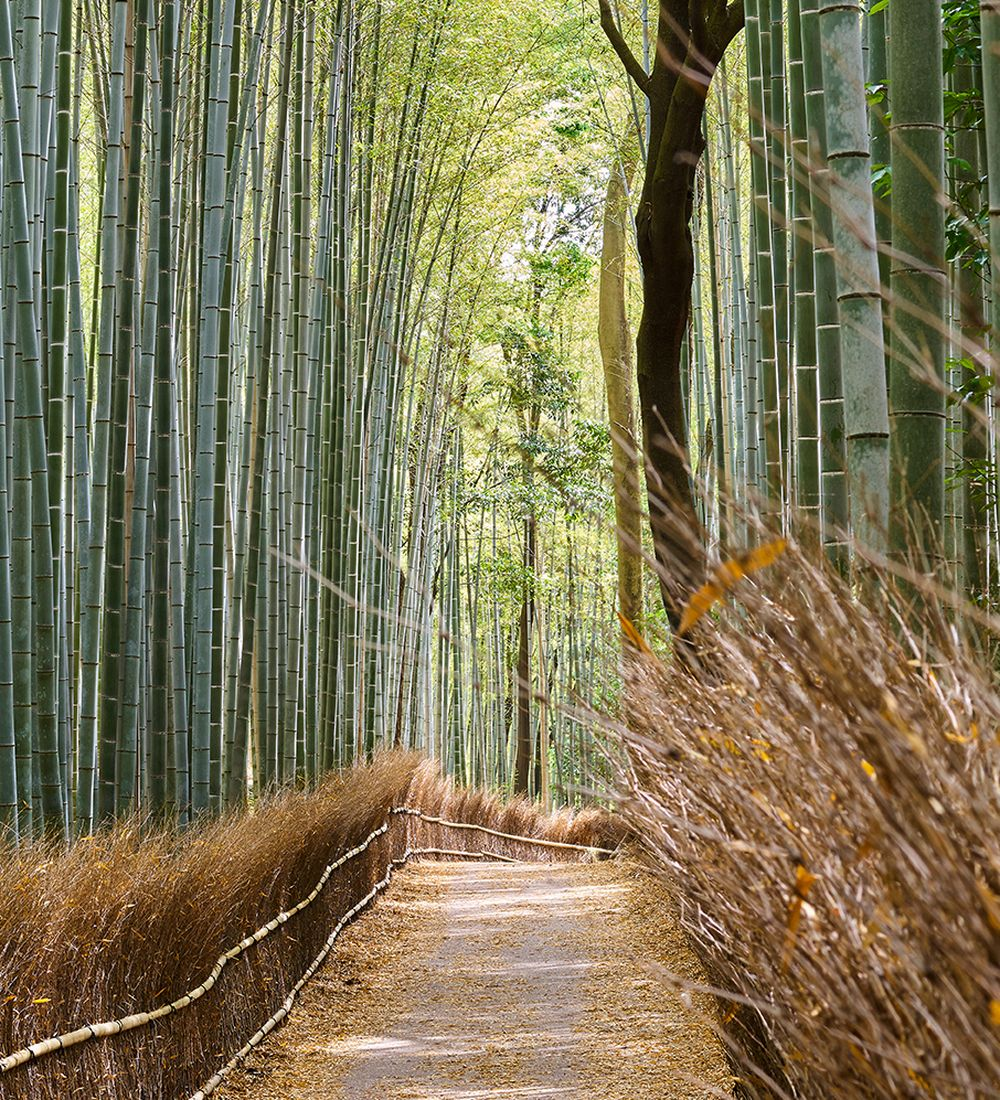 Arashiyama Bamboo Forest in Kyoto Japan