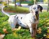 Thumbnail image 1 of Catahoula Cur dog breed
