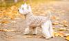 Thumbnail image 2 of West Highland White Terrier dog breed