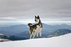 Thumbnail image 2 of Siberian Husky dog breed