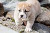 Thumbnail image 5 of Central Asian Shepherd Dog dog breed