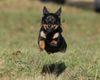 Thumbnail image 2 of Lancashire Heeler dog breed