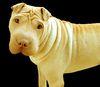 Thumbnail image 4 of Chinese Shar-Pei dog breed