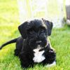 Thumbnail image 2 of Cesky Terrier dog breed