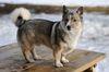 Thumbnail image 0 of Swedish Vallhund dog breed