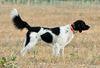Thumbnail image 2 of Large Munsterlander dog breed