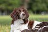 Thumbnail image 0 of Drentsche Patrijshound dog breed