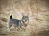 Thumbnail image 2 of Swedish Vallhund dog breed