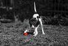 Thumbnail image 1 of Berner Laufhund dog breed