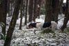 Thumbnail image 3 of Berner Laufhund dog breed
