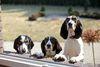 Thumbnail image 2 of Berner Laufhund dog breed