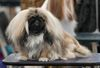 Thumbnail image 2 of Pekingese dog breed