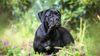 Thumbnail image 1 of Cane Corso dog breed