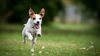 Thumbnail image 3 of Jack Russell Terrier dog breed