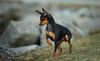 Thumbnail image 1 of Miniature Pinscher dog breed