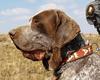 Thumbnail image 0 of Burgos Pointer dog breed