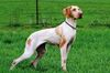 Thumbnail image 0 of Ariege Pointer dog breed