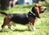 Thumbnail image 2 of Basset Artesien Normand dog breed