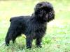 Thumbnail image 0 of Affenpinscher dog breed
