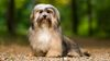 Thumbnail image 0 of Havanese dog breed