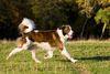 Thumbnail image 0 of Aidi dog breed