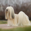 Thumbnail image 2 of Lhasa Apso dog breed