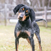 Thumbnail image 2 of Bluetick Coonhound dog breed