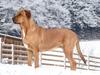 Thumbnail image 2 of Broholmer dog breed