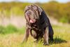 Thumbnail image 1 of Neapolitan Mastiff dog breed