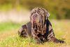 Thumbnail image 2 of Neapolitan Mastiff dog breed