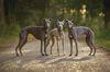 Thumbnail image 1 of Whippet dog breed