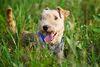 Thumbnail image 0 of Lakeland Terrier dog breed