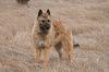 Thumbnail image 0 of Belgian Laekenois dog breed