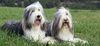 Thumbnail image 3 of Bearded Collie dog breed