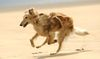 Thumbnail image 1 of Silken Windhound dog breed