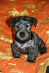 Thumbnail image 1 of Cesky Terrier dog breed