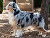 Thumbnail image 1 of Miniature American Shepherd dog breed