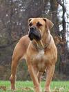 Thumbnail image 1 of Boerboel dog breed
