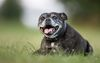 Thumbnail image 2 of Staffordshire Bull Terrier dog breed