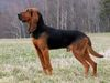 Thumbnail image 1 of Bruno Jura Hound dog breed