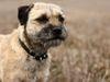 Thumbnail image 1 of Border Terrier dog breed
