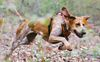 Thumbnail image 3 of American English Coonhound dog breed