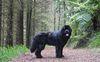 Thumbnail image 4 of Newfoundland dog breed