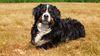 Thumbnail image 3 of Bernese Mountain Dog dog breed