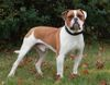 Thumbnail image 0 of American Bulldog dog breed