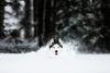 Thumbnail image 0 of Siberian Husky dog breed