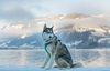 Thumbnail image 5 of Siberian Husky dog breed