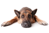 Thumbnail image 2 of German Shepherd dog breed